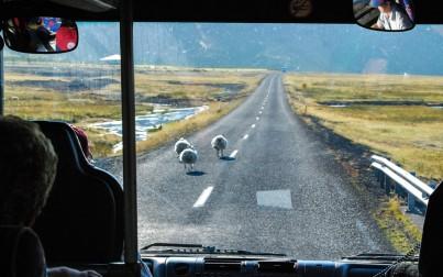 pecore sulla strada