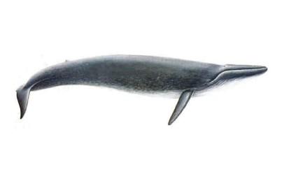 Balenottera Musculus
