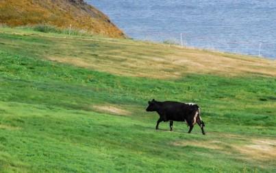 I bovini islandesi