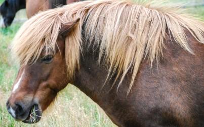 il cavallo islandese