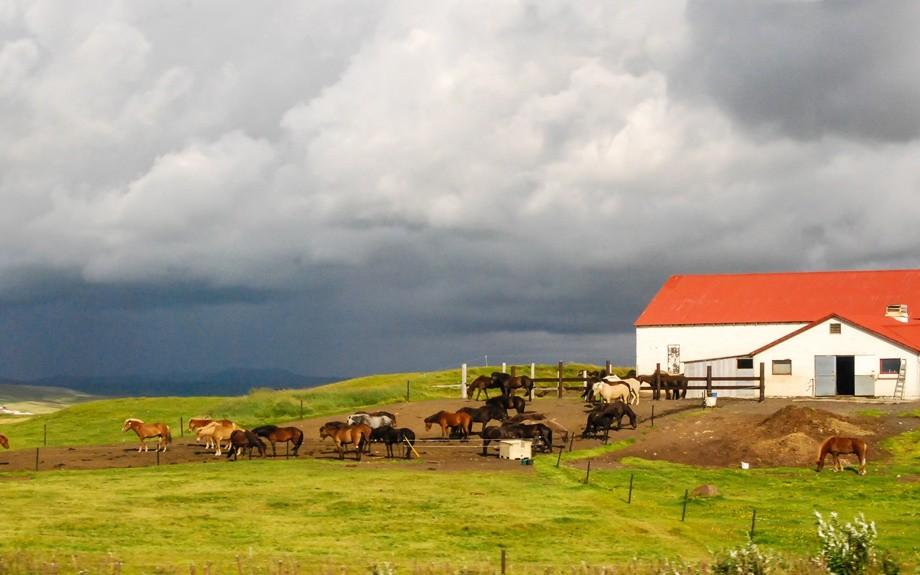 fattoria islandese con cavalli