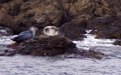 foche in Islanda