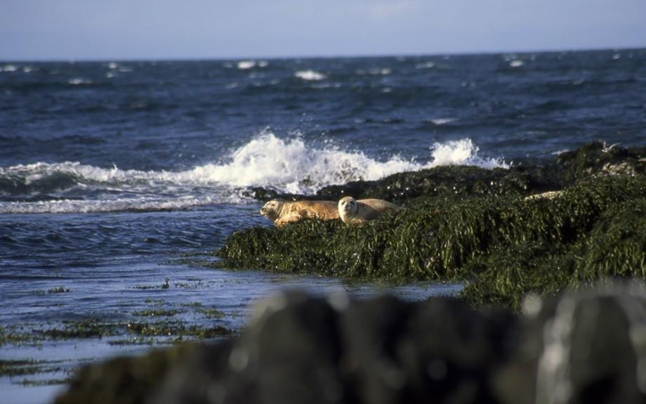 foche sull'isola Heimaey - foto di M. Conforti