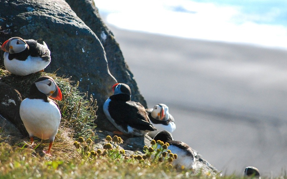 i puffins islandesi