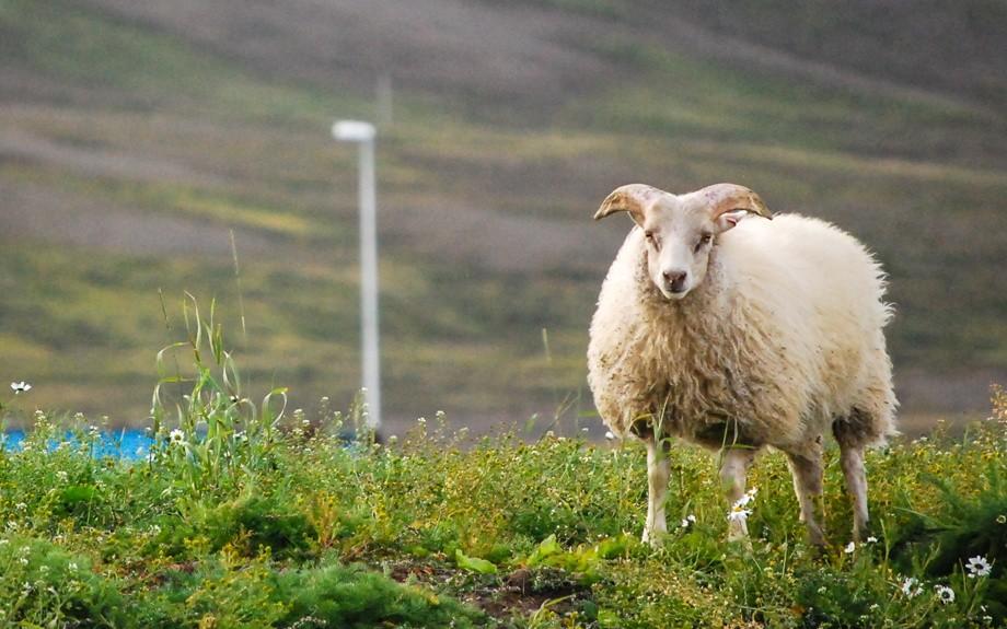 La pecora islandese