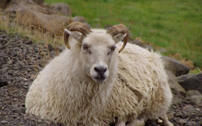pecora sui prati islandesi
