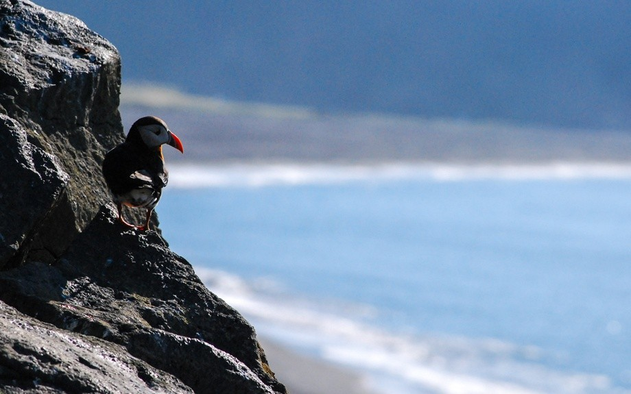 Puffins on rocky coasts