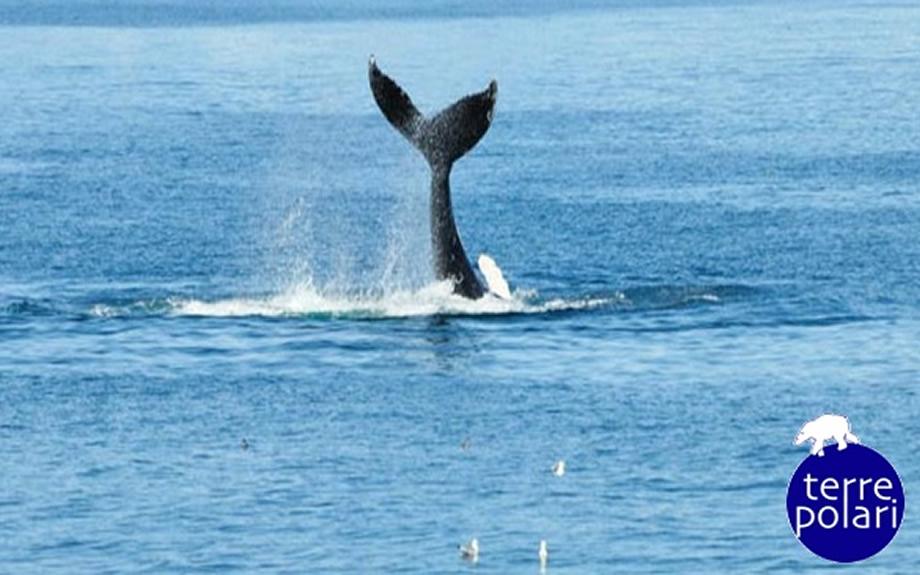 avvistamento di una coda di balena