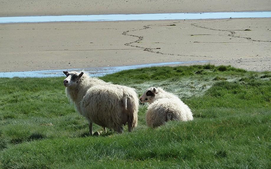 tipiche pecore islandesi