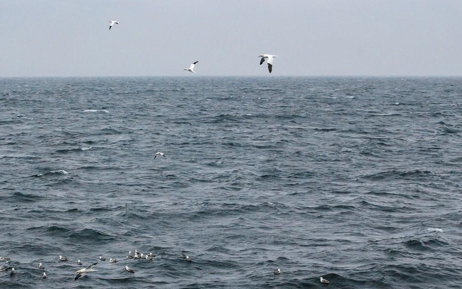 uccelli marini in Islanda