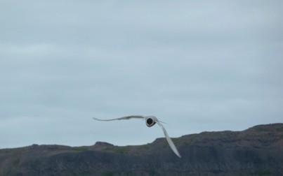 Volatili marini - foto di Laura